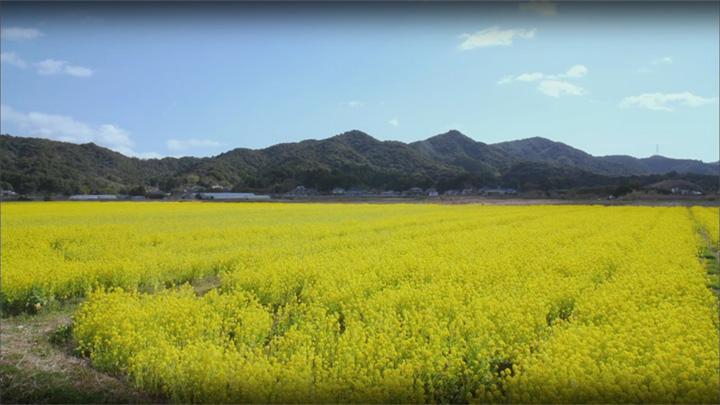 菜の花(熊本県 天草)